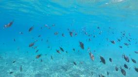 Школа острова Cocos рыб видеоматериал