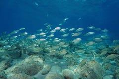 Школа Средиземного моря Корсики Франции рыб Стоковые Изображения