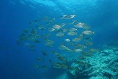 Школа Средиземного моря Франции леща моря рыб Стоковые Изображения RF