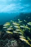 школа goatfish Стоковые Фото