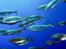 Школа salema рыб Стоковое Фото