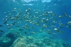 Школа salpa Sarpa porgy salema пагров рыб Стоковая Фотография