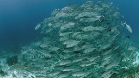 Школа trevallies бычеглазого окуня на коралловом рифе акции видеоматериалы