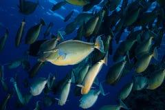Школа unicornis Naso unicornfish Bluespine Стоковая Фотография RF