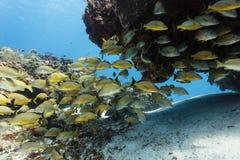 Школа желтых тропических рыб плавает под выходом на поверхность утеса на коралловом рифе Стоковые Изображения