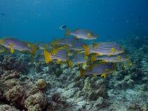 Школа Индийского океана Oriental Sweetlips Стоковые Фотографии RF