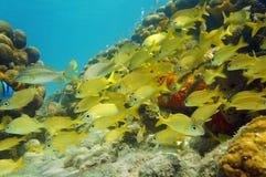 Школа карибского моря рыб в коралловом рифе Стоковые Изображения