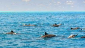 Школа одичалых dolphiins плавая в море Laccadive Стоковые Фото