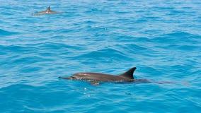 Школа одичалых dolphiins плавая в море Laccadive Стоковое Фото
