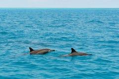 Школа одичалых dolphiins плавая в море Laccadive Стоковая Фотография
