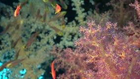 Школа рыб в мягких кораллах в Красном Море акции видеоматериалы