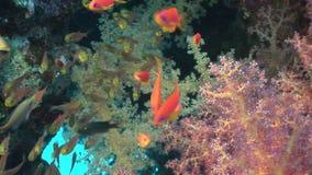 Школа рыб в мягких кораллах подводных в Красном Море видеоматериал