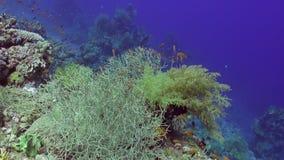 Школа рыб подводных на чистой голубой предпосылке кораллов в Красном Море видеоматериал