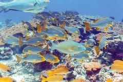 Школа рыб приближает к коралловому рифу, Мальдивам Стоковые Фотографии RF