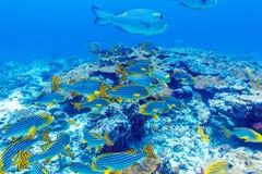 Школа рыб приближает к коралловому рифу, Мальдивам Стоковое Изображение RF