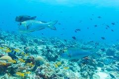Школа рыб приближает к коралловому рифу, Мальдивам Стоковая Фотография RF