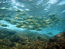 Рыбы приближают к поверхности Стоковые Изображения
