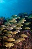 Школа bluestripped ворчаний на рифе мелассы, ключевого Largo, ключей Флориды Стоковые Фотографии RF