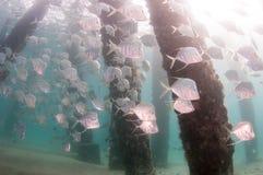Школа Lookdown рыб под пристанью Стоковые Фотографии RF