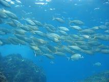 Школа porgy Salema рыб леща моря Стоковое Изображение