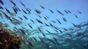 Школа ransonneti Glassfish Parapriacanthus внутри развалины SS Carnatic, Красного Моря сток-видео
