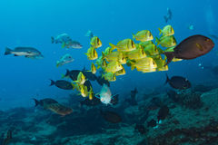 Школа sweetlips морского окуня рыб подводных Стоковое фото RF