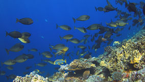 Школа Unicornfish Стоковая Фотография