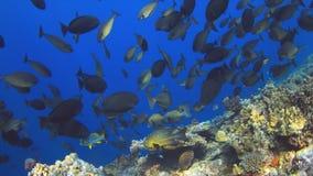 Школа Unicornfish Стоковые Фотографии RF