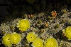 Шлейф кактуса полностью с серым цветом желтого зеленого цвета и часть в sgade Стоковые Фото