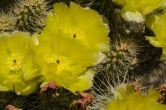Шлейф кактуса полностью с серым цветом желтого зеленого цвета Стоковая Фотография RF
