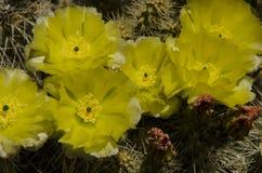 Шлейф кактуса полностью с серым цветом желтого зеленого цвета Стоковое Фото