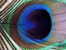 шлейф павлина Стоковые Фотографии RF
