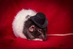 Шляпа крысы любимчика верхняя стоковое фото