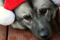 Шляпа рождества на собаке Elkhound норвежца Стоковое фото RF