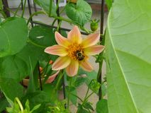 Шмель в центре  персика покрасил цветок георгина Стоковая Фотография RF