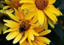 Шмель в ярком цветке стоковые фото