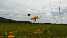 шмель летает над простиранием поля риса стоковые изображения
