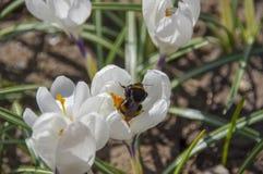 Шмель на белом крокусе весной Стоковое Фото