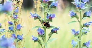 Шмель на замедленном движении конца-вверх wildflower видеоматериал