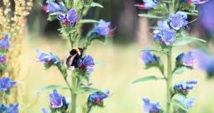 Шмель на замедленном движении конца-вверх wildflower сток-видео