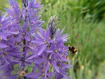 Шмель на пурпурном цветке стоковая фотография rf
