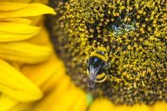 Шмель на солнцецвете Стоковая Фотография RF