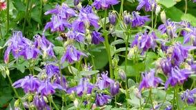 Шмель на цветке aquilegia видеоматериал