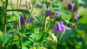 Шмель на цветке aquilegia акции видеоматериалы