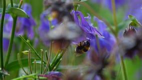 Шмель на цветке aquilegia сток-видео