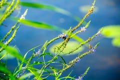 Шмель сидя на траве около воды стоковая фотография