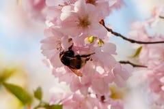 Шмель s на цветении Стоковые Изображения RF