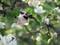 Шмель весны Стоковые Изображения