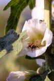Шмель в цветке просвирника на солнечный день Стоковые Изображения RF
