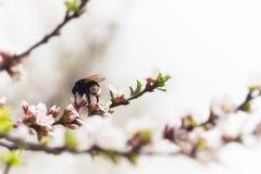 Шмель на вишне цветка весны Стоковые Фотографии RF